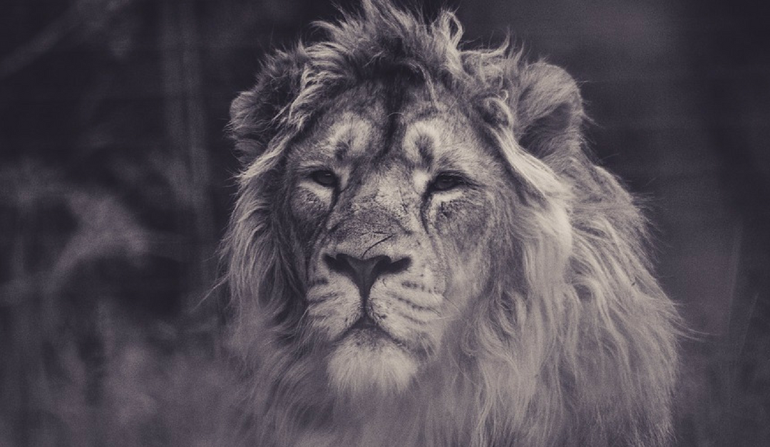 De blik van de leeuw